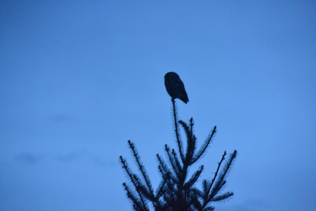 Female Owl.  Our first owl sighting of the season.